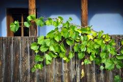 Träveranda med druvaleaves Royaltyfria Bilder