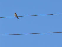 tråd för blå sky för fågel Royaltyfri Foto