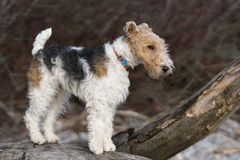 Tråd-Haired foxterrier Arkivfoton