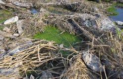 Trådlika alger i smutsigt vatten Royaltyfri Foto