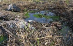 Trådlika alger i smutsigt vatten Arkivfoto