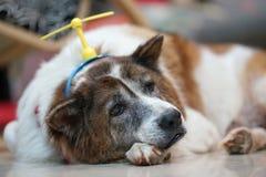 Tråkig framsidahund som lägger på jordningen med den head musikbandet för leksak Arkivfoto