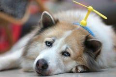 Tråkig framsidahund som lägger på jordningen med den head musikbandet för leksak Fotografering för Bildbyråer