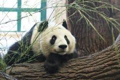 tråkig panda Royaltyfria Bilder