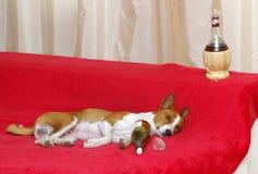 Tråkigt liv av den alkoholiserade hunden Fotografering för Bildbyråer