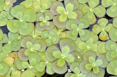 Trèfle à quatre feuilles image stock