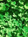 Trèfle Image stock