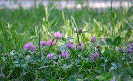 Trèfle avec des fleurs en parc photographie stock