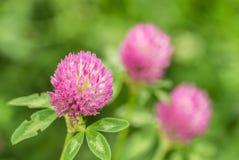 Trèfle de fleur Images stock