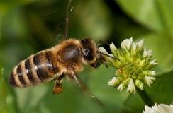 Trèfle de pollination d'abeille de vol Image stock