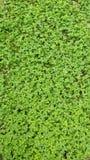 Trèfle vert Photo stock