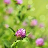 Trèfle violet Photos libres de droits