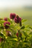 Trèfle violet Photographie stock