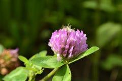 Trèfle violet Photos stock
