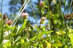 Trèfle violet dans le pré photo libre de droits