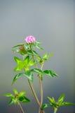 Fleur pourpre de trèfle de trifoil Image stock