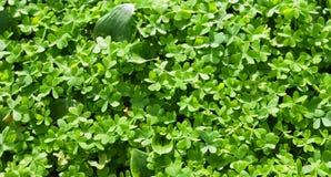 Trèfles de lame du vert trois Photo stock