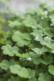 Trèfles de plantes vertes sur un pot avec des gouttelettes et des gouttes de pluie Images stock