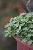 Trèfles de plantes vertes sur un pot avec des gouttelettes et gouttes de pluie un jour pluvieux Photographie stock libre de droits