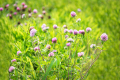 Trèfles violets Images libres de droits