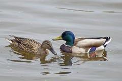 Paires de conversation d'amoureux de canards Image stock