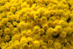 Chrysanthèmes jaunes photo stock