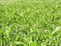 Trébol blanco e hierba verde, Lituania foto de archivo libre de regalías