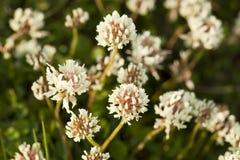 Trébol blanco (repens del Trifolium) Fotografía de archivo libre de regalías