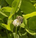Trébol blanco y abeja Imagenes de archivo