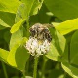 Trébol blanco y abeja Foto de archivo