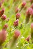 Trébol carmesí (incarnatum del Trifolium) Foto de archivo libre de regalías