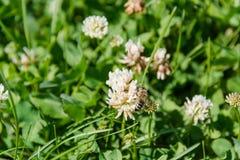 Trébol con una abeja Trébol blanco Fotografía de archivo libre de regalías