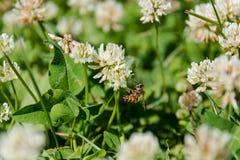 Trébol con una abeja Trébol blanco Imagen de archivo