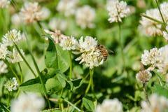 Trébol con una abeja Trébol blanco Foto de archivo