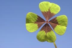 Trébol de cuatro hojas Imagen de archivo