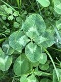 Trébol de cuatro hojas en hierba fotos de archivo libres de regalías