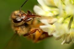 Trébol de la abeja Fotografía de archivo libre de regalías