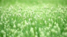 Trébol de la hierba en el campo almacen de video