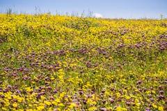 Trébol de los yacimientos de oro (Lasthenia) y de Whitetip (variegatum del Trifolium) que florece en los campos de la montaña del imagen de archivo