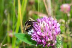Trébol de polinización del abejorro en un prado Flores rosadas del resorte Fotografía de archivo libre de regalías