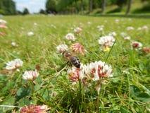 Trébol del césped con la abeja Imagen de archivo libre de regalías