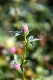 Trébol floreciente, flor del pratense del Trifolium en el campo Imagenes de archivo