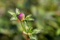 Trébol floreciente, flor del pratense del Trifolium en el campo Foto de archivo libre de regalías