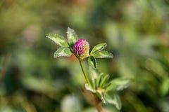 Trébol floreciente, flor del pratense del Trifolium en el campo Imagen de archivo