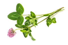 Trébol rojo de la planta medicinal (pratense del Trifolium) Imagenes de archivo