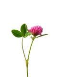 Trébol rojo (pratense del Trifolium) Fotografía de archivo libre de regalías