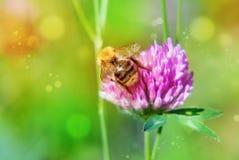 Trébol y abejorro rosados Imágenes de archivo libres de regalías
