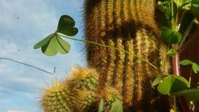 Trébol y cactus Foto de archivo libre de regalías
