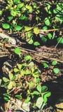 tréboles Campos Fotos de archivo libres de regalías