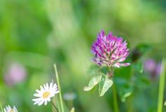 Tréboles de la hierba y de las flores en un campo en el verano Fondo borroso naturaleza Profundidad del campo baja Imagen entonad fotos de archivo